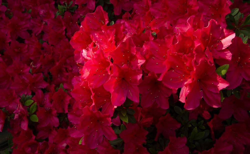 fleuritse - série rouge - © D-Martigne